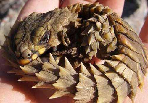 犰狳蜥是什么?南非犰狳蜥蜴多少钱一只?