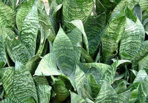 室内虎尾兰的养殖方法和注意事项
