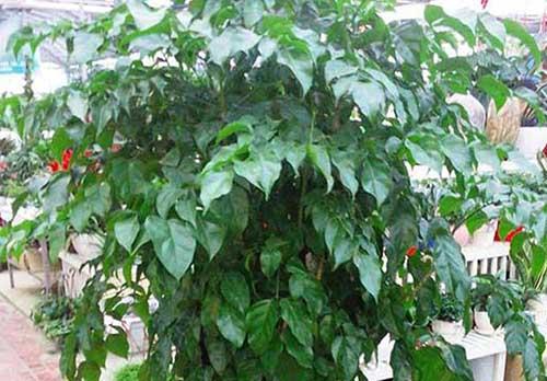 室内幸福树的养殖方法和注意事项有哪些
