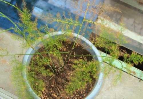 室内养殖的文竹叶子发黄怎么办?