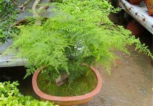 盆栽文竹的养殖方法及注意事项