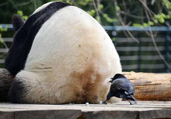 乌鸦拔熊猫毛搭窝:薅社会主义熊猫毛,胆大包天
